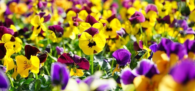 pansy-318146_640